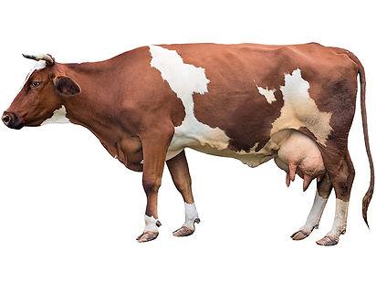 ZAMBA_krava.jpg