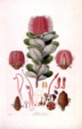 Banksia_coccinea_(Illustrationes_Florae_