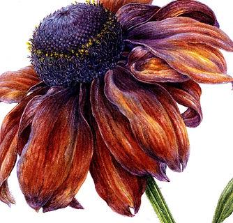 Rich colour rudbeckia