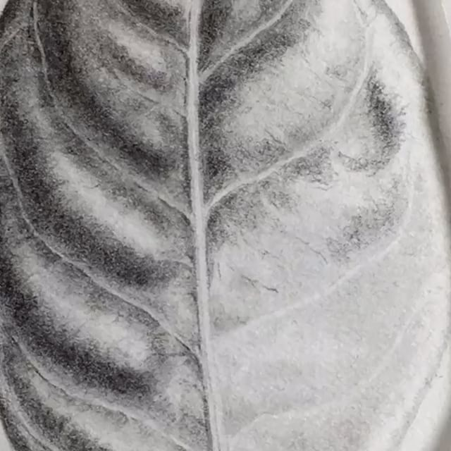 Detail Gardenia leaf in graphite