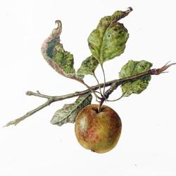Fruit assignment: apples