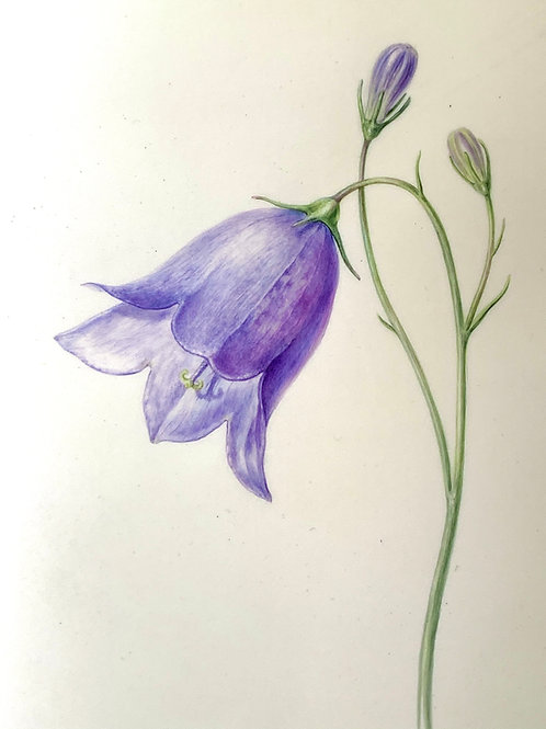 Scottish Blue Bell, Campanula rotundifolia