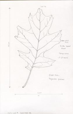 Black Oak by Ikumi Kayama