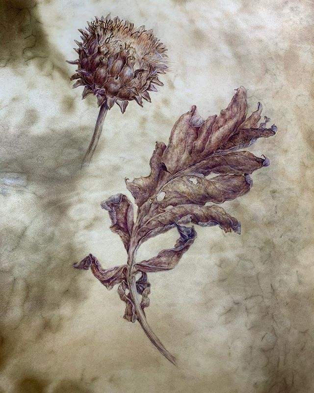 Faded Cardoon
