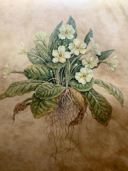 Wild Primrose Primula vulgaris
