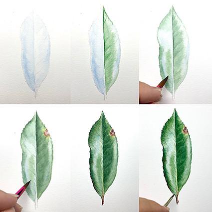 Photinia leaf green small.jpg
