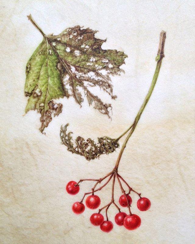 Guelder Rose Leaf and Fruits