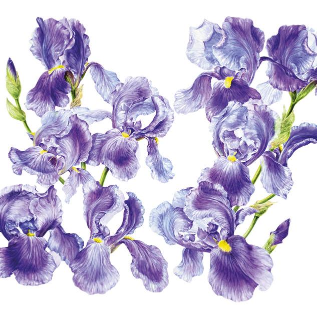 Caress Iris wrap around design