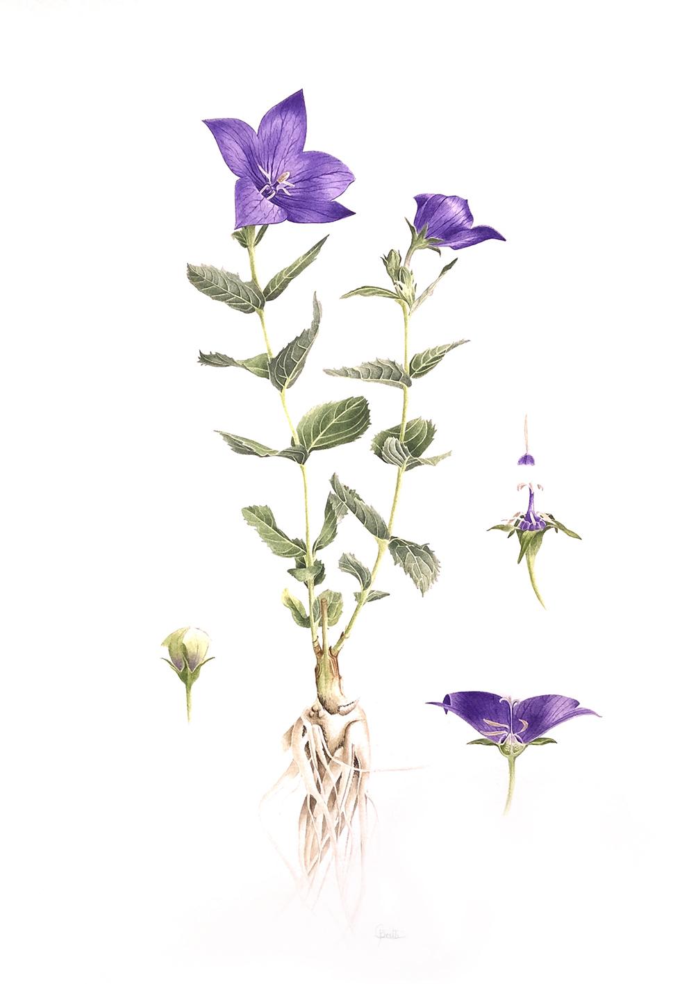 Platycodon grandiflora Patricia Gritti