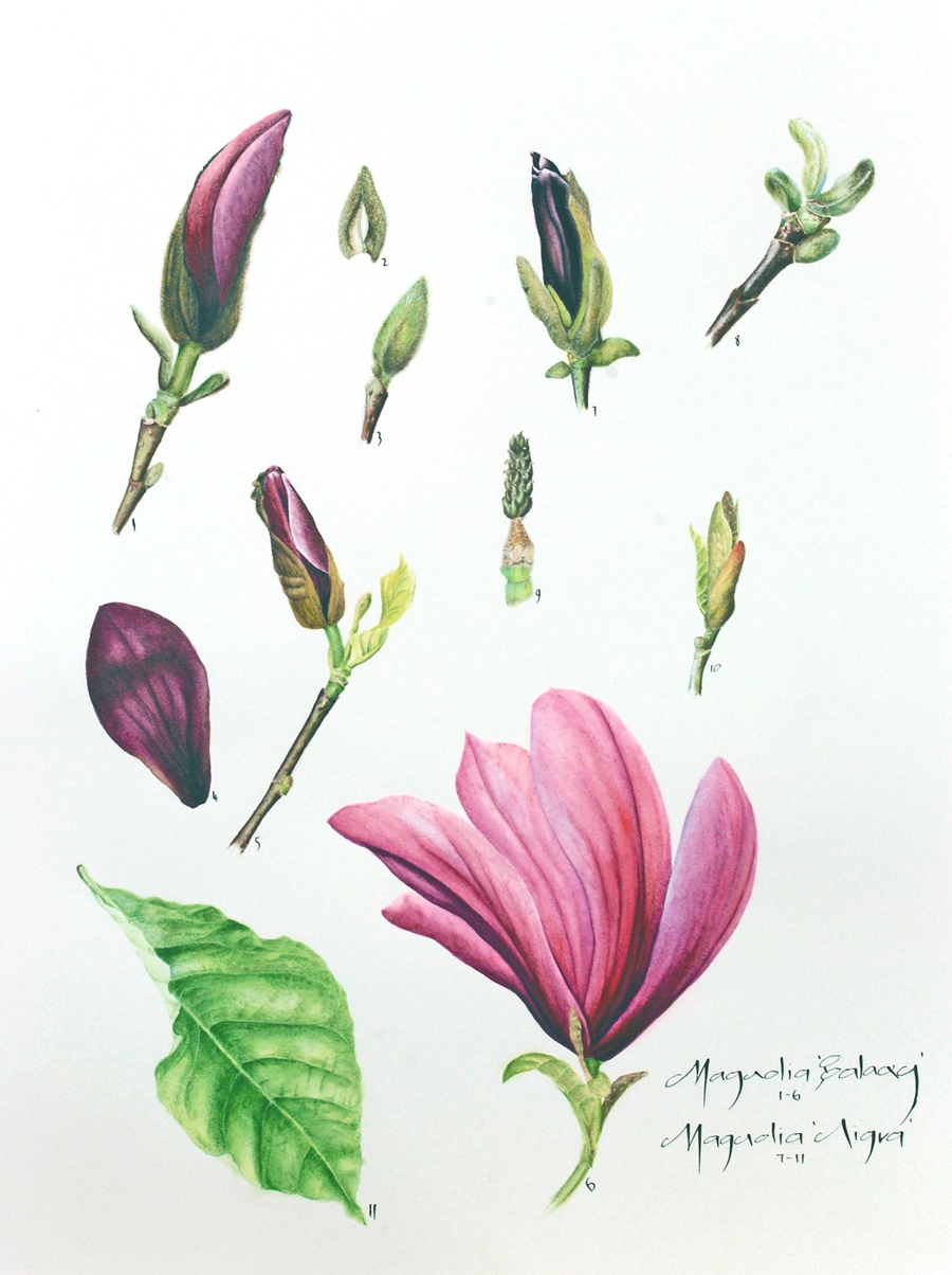 Magnolia study by Yvonne Sonsino