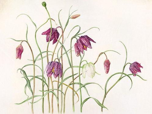 Fritillaria meleagris print
