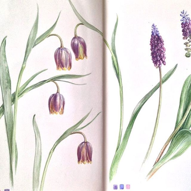 More Fritillaria and Grape Hyacinth