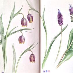 More Fritillaria and Grape Hyacinth