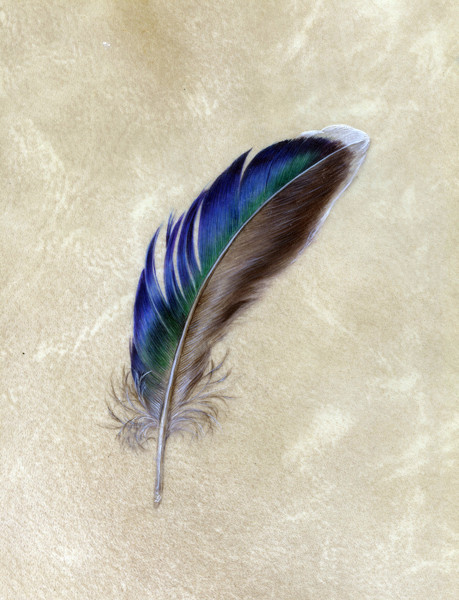 A shiny duck feather