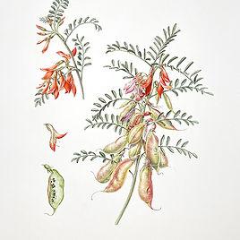 Lessertia frutescens small 2.jpg