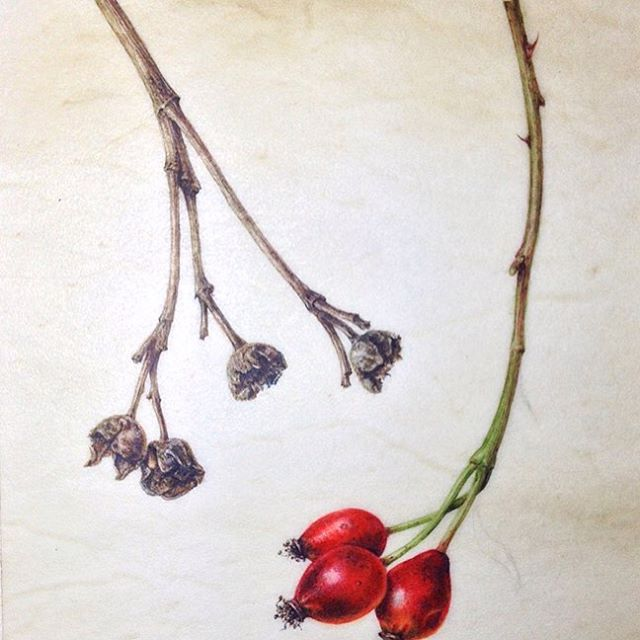 Rosehips on natural vellum