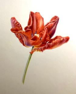 Rococco tulip