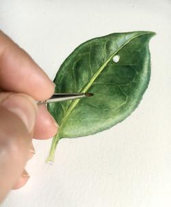 Camellia leaf wip