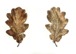 Old Oak Leaves