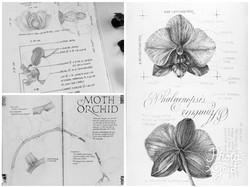 Tasha de Guzman Phalaenopsis studies