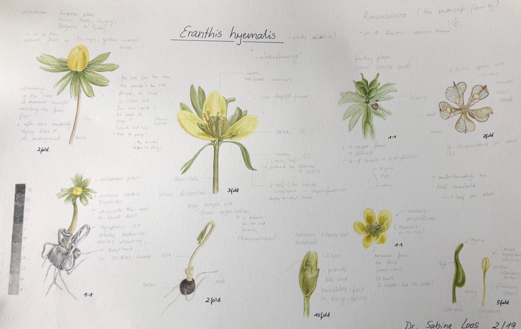 Sabine Loos, Eranthis Study Page