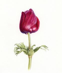 Anemone bud