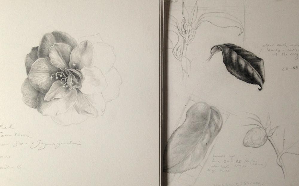 Camellia study 2
