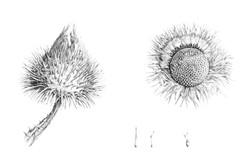 Onopordum acanthium. Scots Thistle