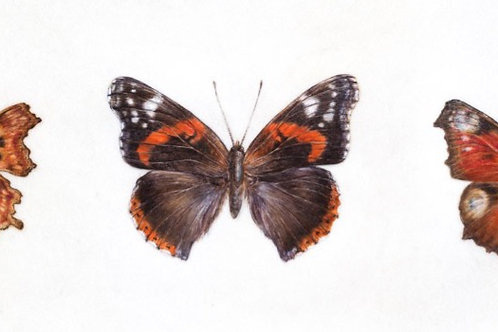 Three British Butterflies print