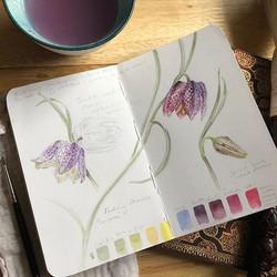 Another Fritillaria