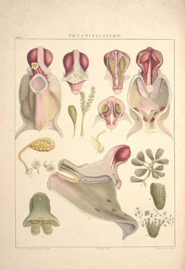 Illustrations_of_orchidaceous_plants_(Ta
