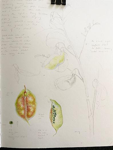 sutherlandia sketchbook 2.jpg