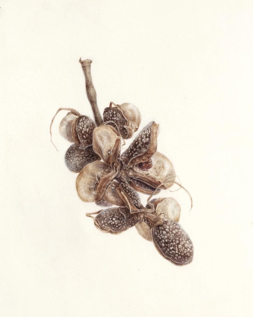 Magnolia Seed Pod from Yogyakarta