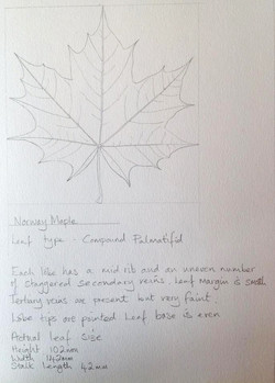 Leaf studies by Jude Smith
