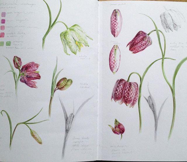 Fritillaria studies