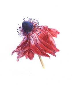 Faded Anemone