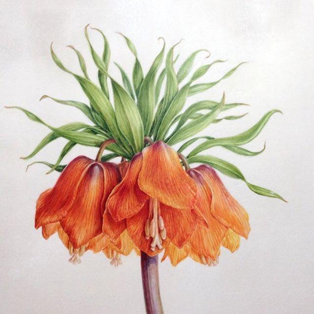 Fritillaria imperialis 'Rubra detail