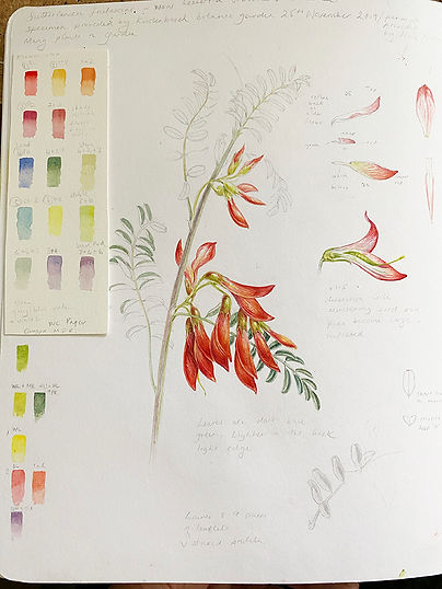 sutherlandia sketchbook 1.jpg