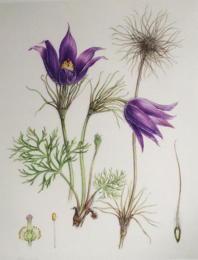 .A typical botanical illustration, Pulsa