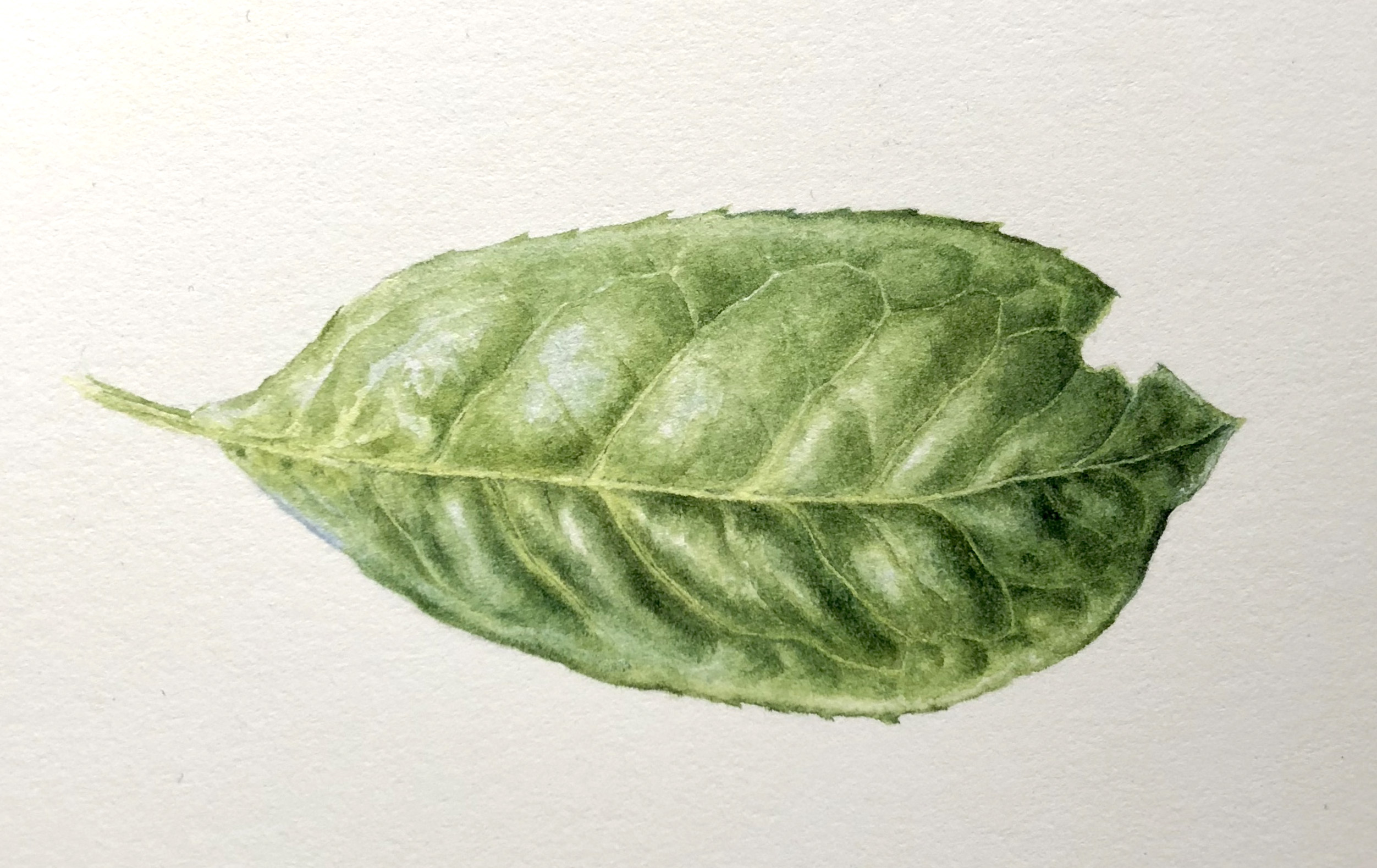 Watercolour of Laurel leaf wip