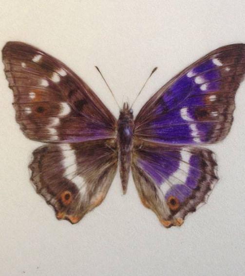 Purple emperor
