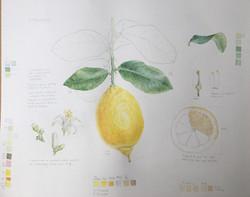 Theres Gustafasson, Lemon