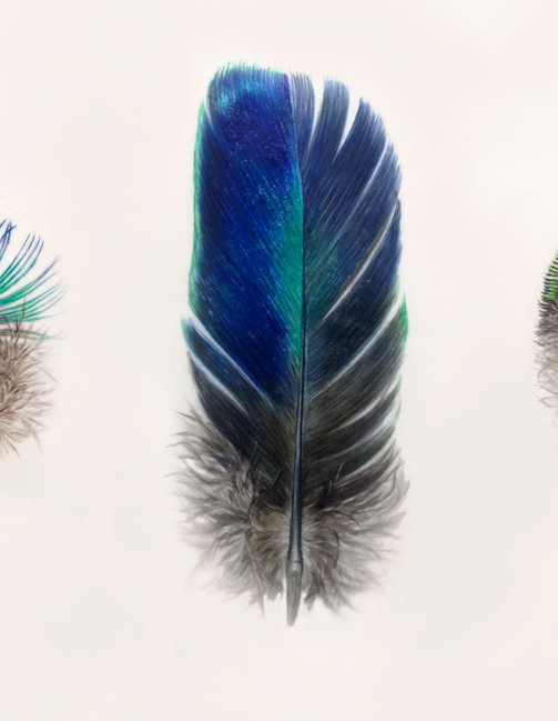 Trio of peacock feathers