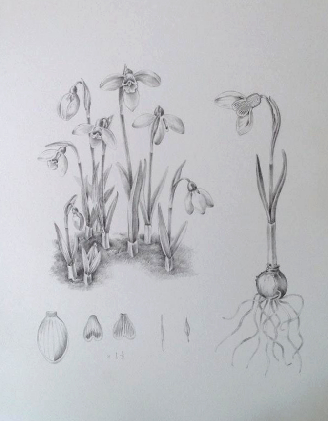 Snowdrops in graphite by Jude Smith