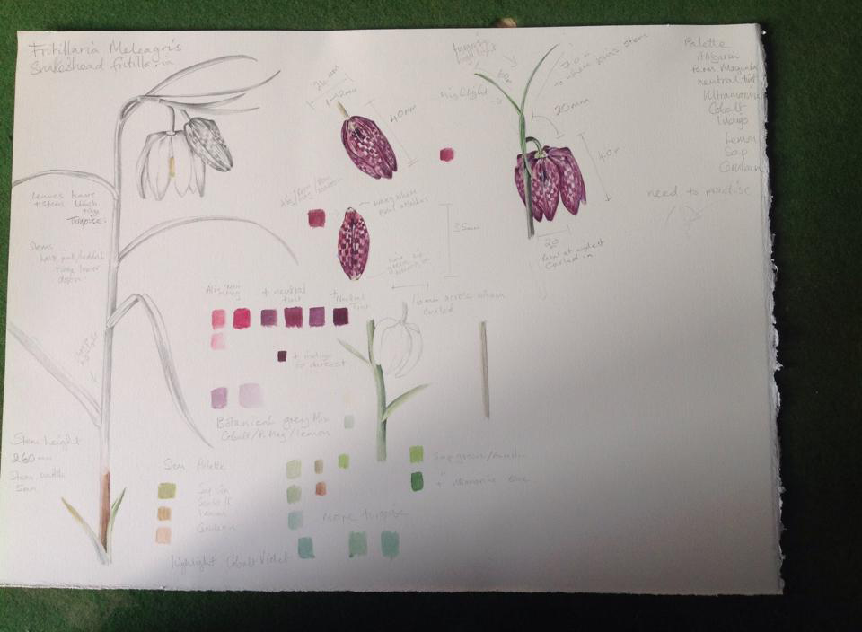 Fritillaria study page by Jude Smith