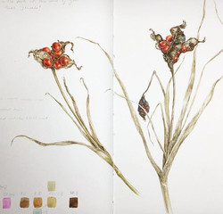 Iris foetidissima, local park