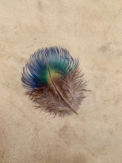 Peacock Breast Feather