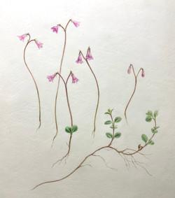 Twinflower Linnaea borealis