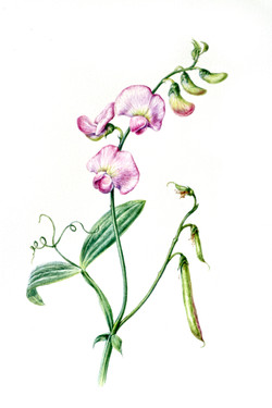 Lathyrus