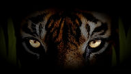 eye-of-the-tiger-wallpapers-4575255.jpg